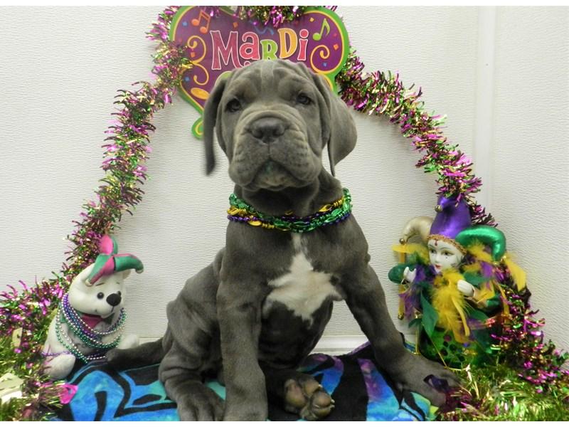 Neapolitan Mastiff-Female-Blue-2627745-Petland Orlando South
