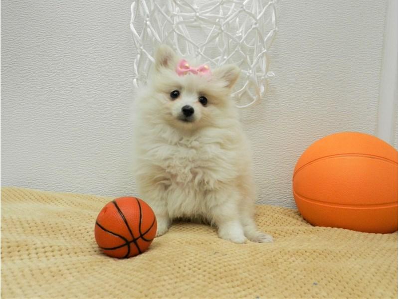 Pomeranian-Female-Cream-2642917-Petland Orlando South