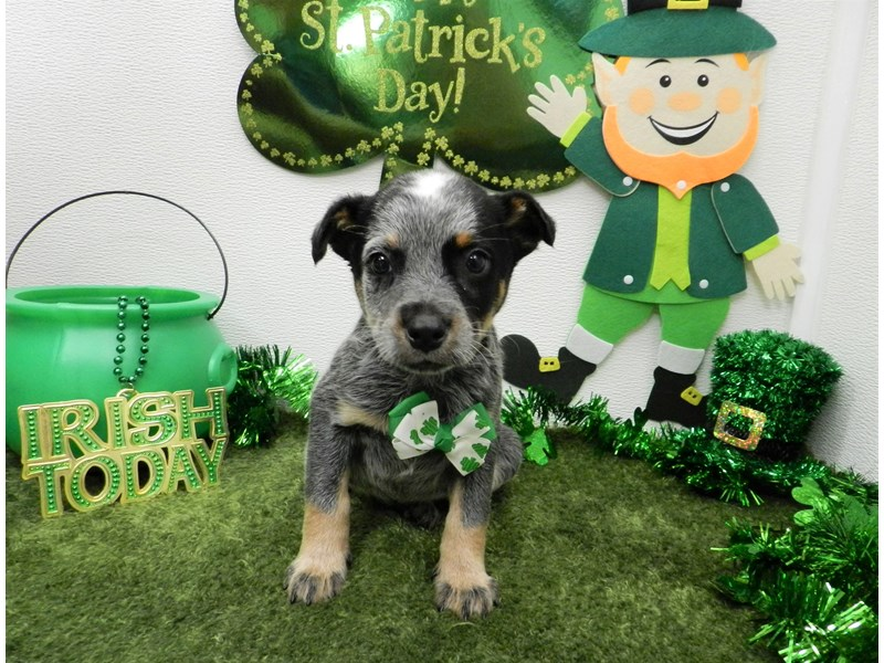 Australian Cattle Dog-Male-Blue-2657003-Petland Orlando South