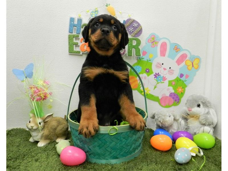 Rottweiler-Male-Black and Tan-2676040-Petland Orlando South