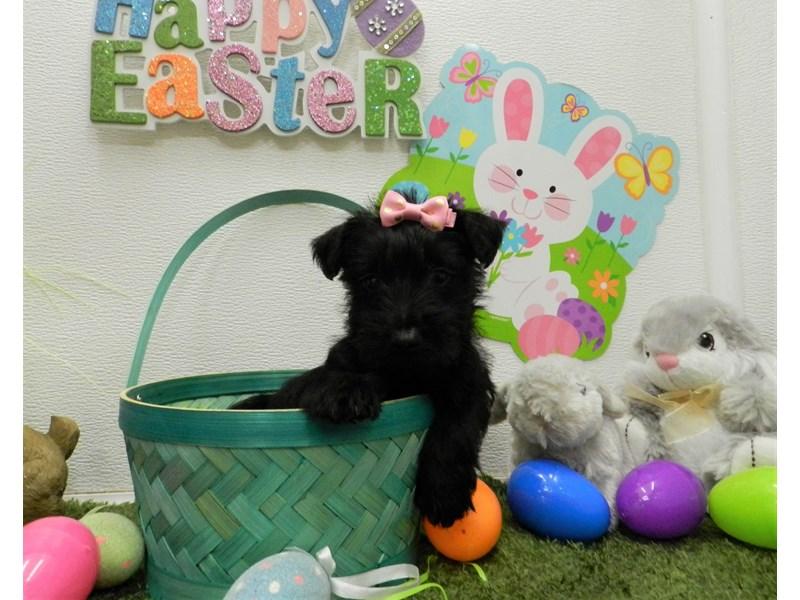 Scottish Terrier-Female-Black-2676031-Petland Orlando South