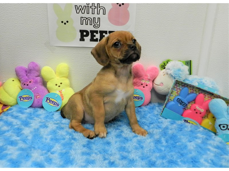 Puggle-Female-Fawn-2681842-Petland Orlando South