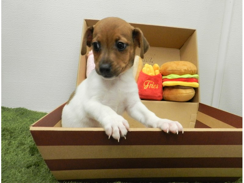 Jack Russell Terrier-Male-White and Red-2689058-Petland Orlando South