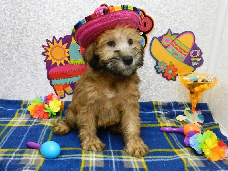 Soft Coated Wheaten Terrier-Female-Wheaten-2695409-Petland Orlando South