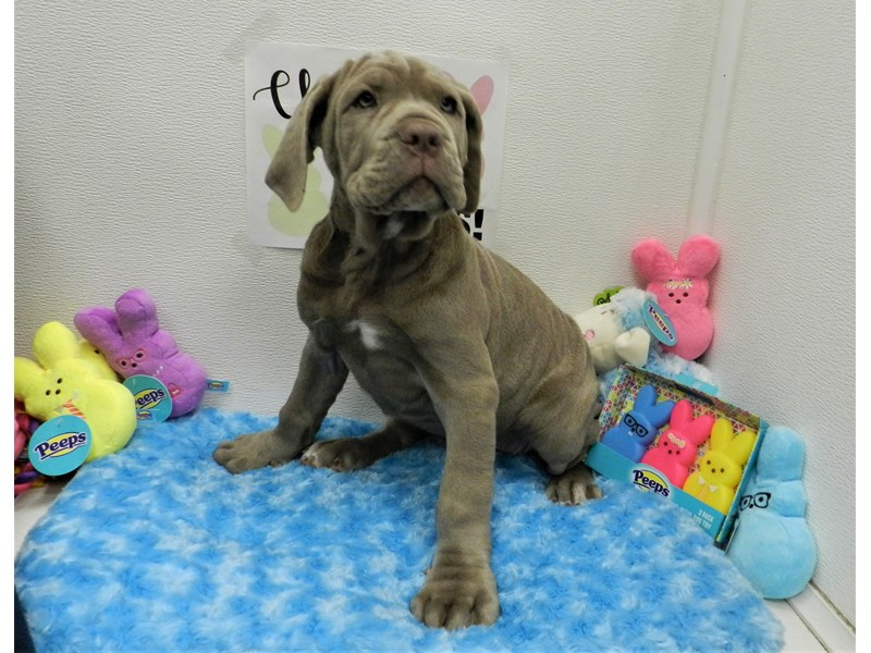 Neapolitan Mastiff-Female-Twny-2682248-Petland Orlando South