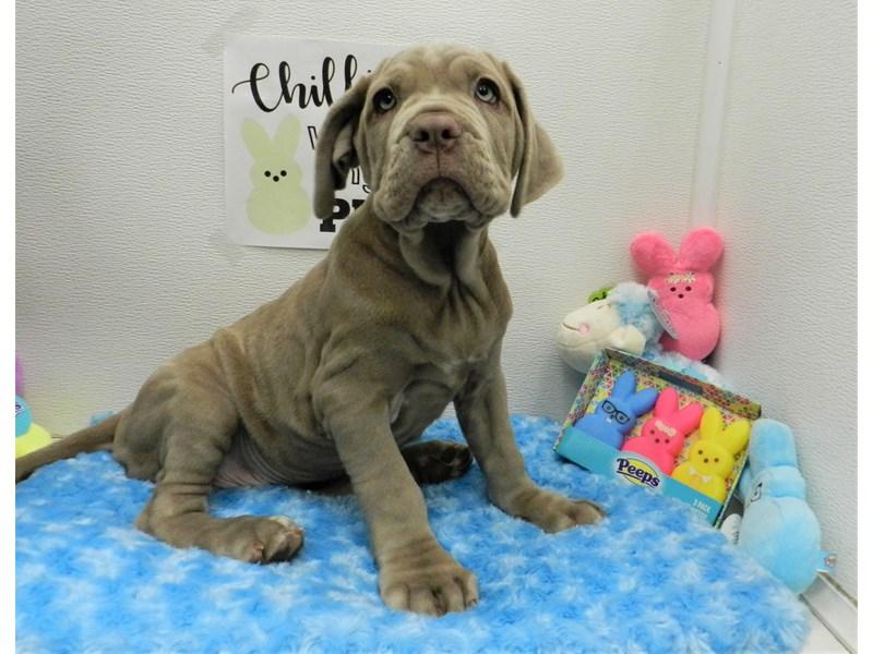 Neapolitan Mastiff-Female-Twny-2682247-Petland Orlando South