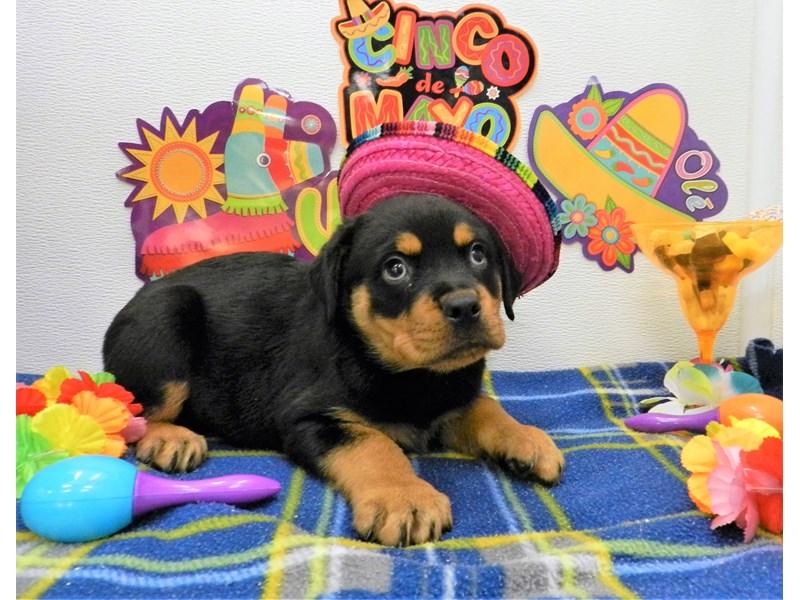 Rottweiler-Female-Black and Mahogany-2695676-Petland Orlando South