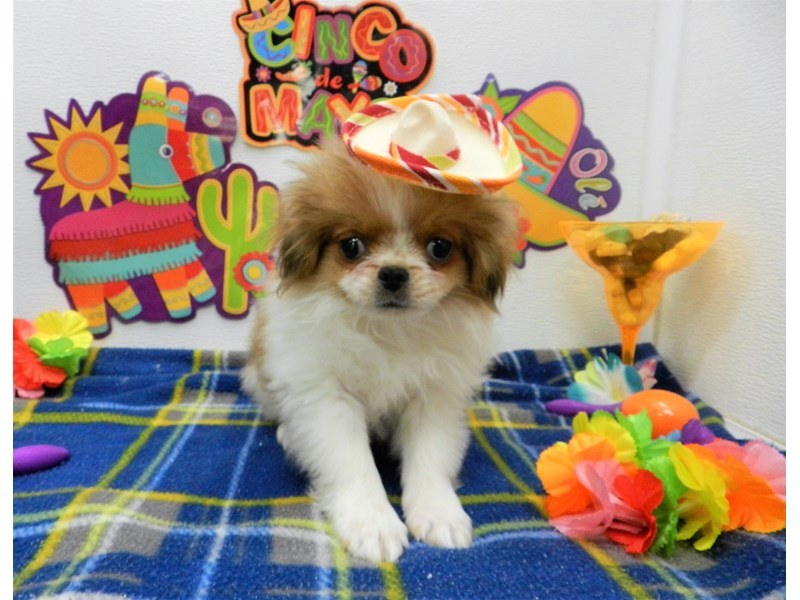 Japanese Chin-Male-White and Red-2695631-Petland Orlando South