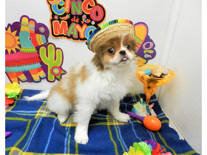 Japanese Chin-Male-White and Red-2695629-Petland Orlando South