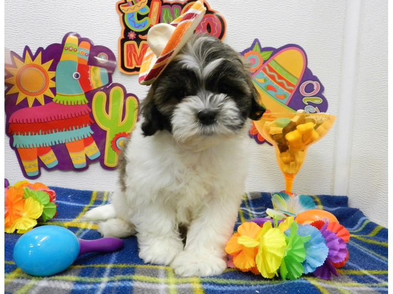 Shih Poo-Male-Gold Brindle and White-2695241-Petland Orlando South
