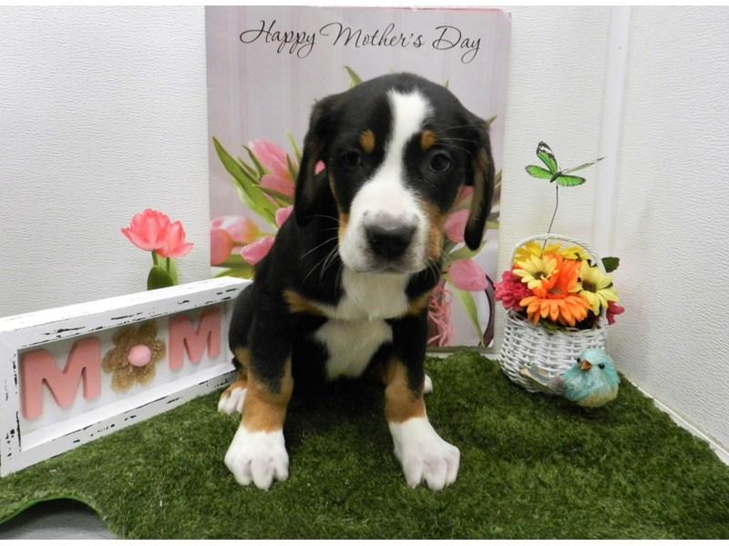Greater Swiss Mountain Dog-DOG-Female-Tri-2702463-Petland ...
