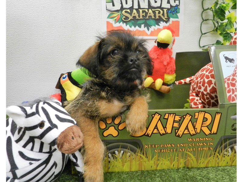 Brussels Griffon-Male-Belge-2709601-Petland Orlando South