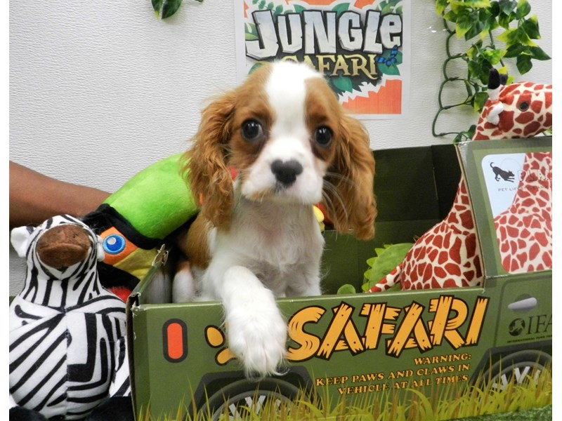 Cavalier King Charles Spaniel-Female-Blenheim-2691966-Petland Orlando South