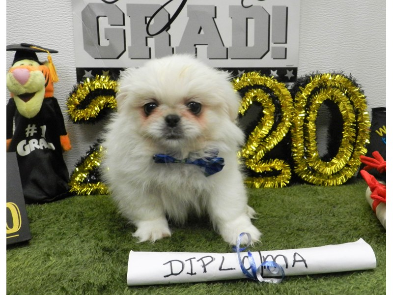 Pekingese-Male-Cream-2722096-Petland Orlando South
