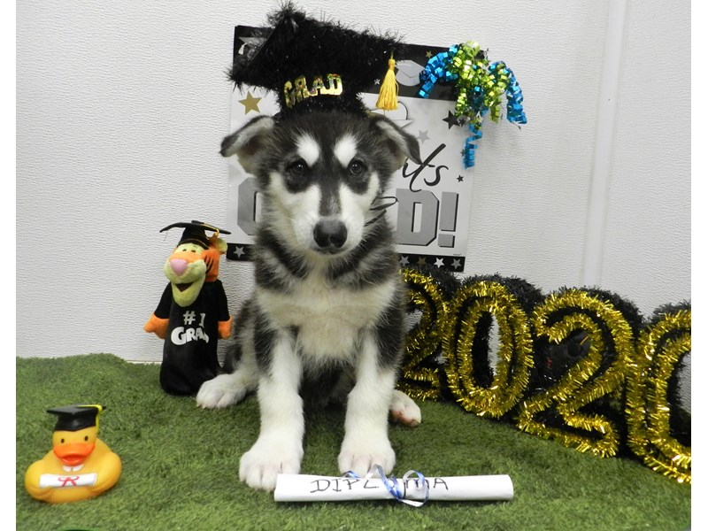 Alaskan Malamute-Male-Black and White-2721446-Petland Orlando South