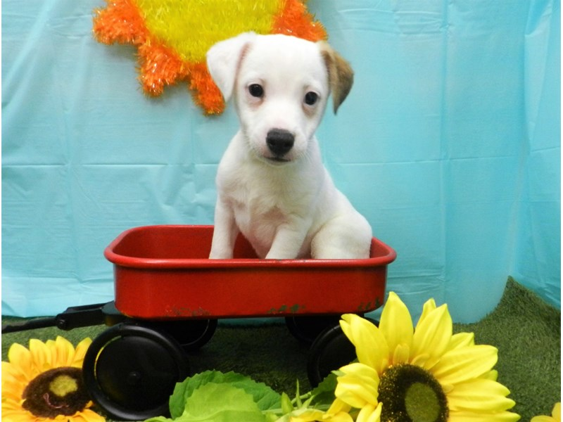 Jack Russell Terrier-Male-White and Red-2727205-Petland Orlando South