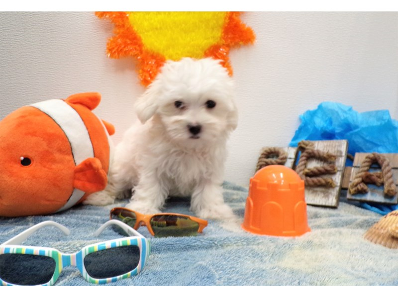 Maltese-Male-WHITE-2736817-Petland Orlando South