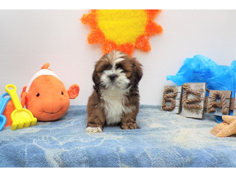 Lhasa Apso-Male-Gold with White Markings-2736332-Petland Orlando South