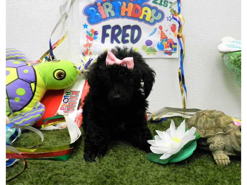 Poodle-Female-black-2750956-Petland Orlando South