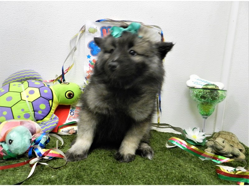 Keeshond-Female-black and silver-2750953-Petland Orlando South