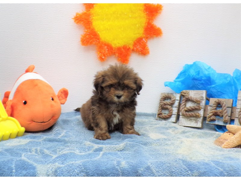 Lhasa Apso-Male-Gold and Black Points-2736337-Petland Orlando South