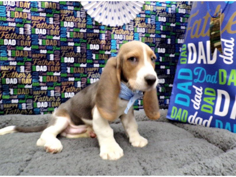 Basset Hound-Male-blue, tan, and white-2743656-Petland Orlando South