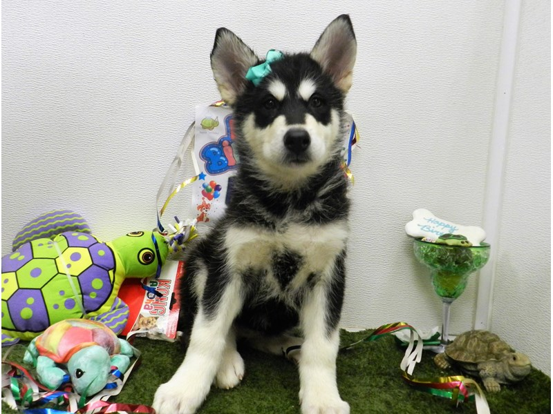 Alaskan Malamute-Female-Black and White-2750337-Petland Orlando South