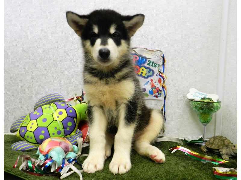 Alaskan Malamute-Male-Black and white-2751248-Petland Orlando South