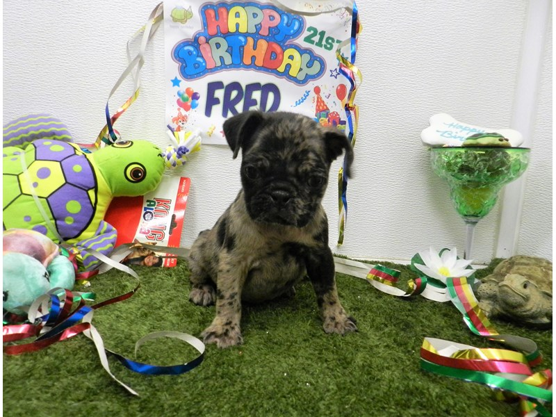 Pug-Female-blue merle-2750901-Petland Orlando South