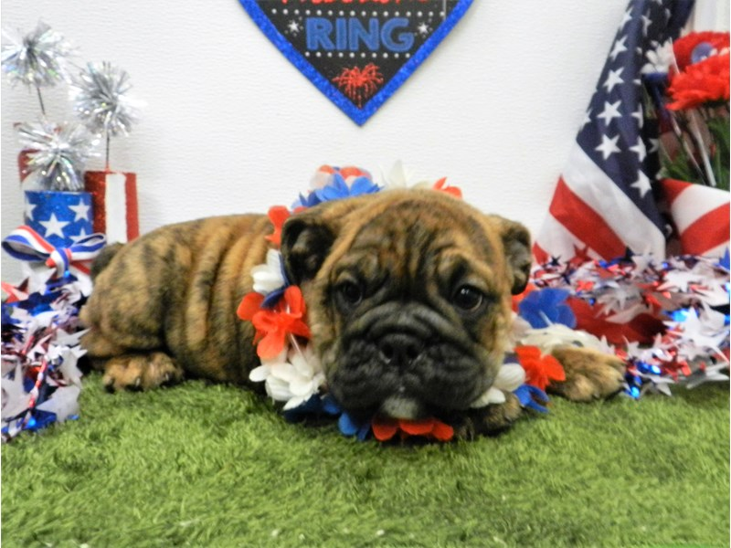 English Bulldog-Female-Red Brindle and White-2757748-Petland Orlando South
