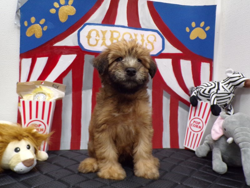 Soft Coated Wheaten Terrier-Male-Wheaton-2782153-Petland Orlando South