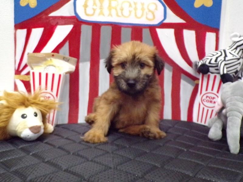 Soft Coated Wheaten Terrier-Female-Wheaton-2782157-Petland Orlando South