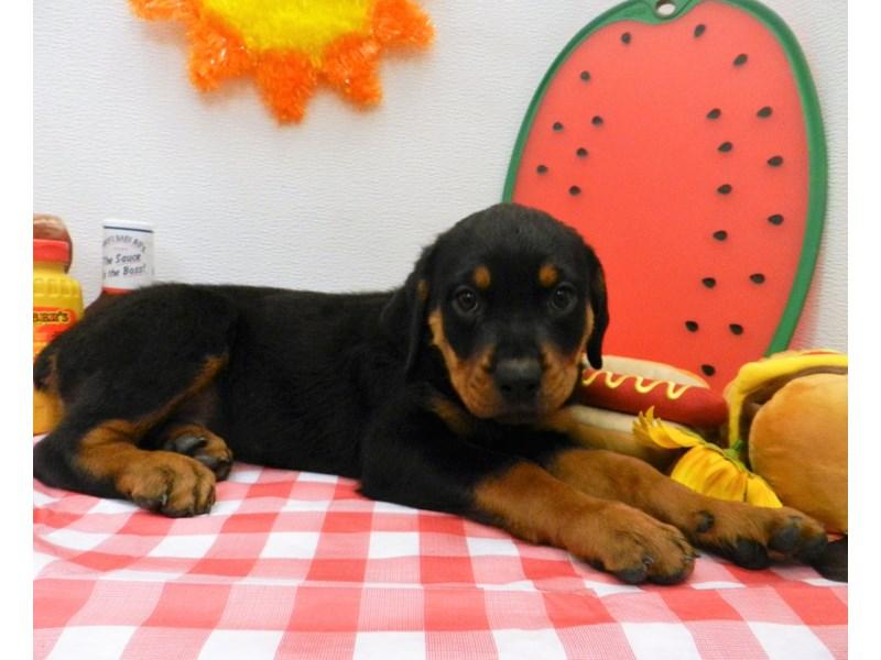 Rottweiler-Female-Black and Rust-2773163-Petland Orlando South