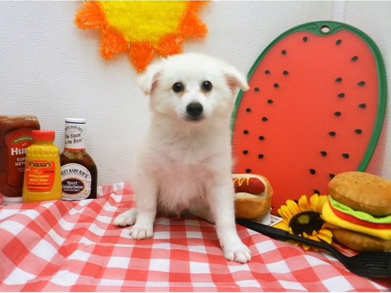 American Eskimo-Male-White-2773931-Petland Orlando South