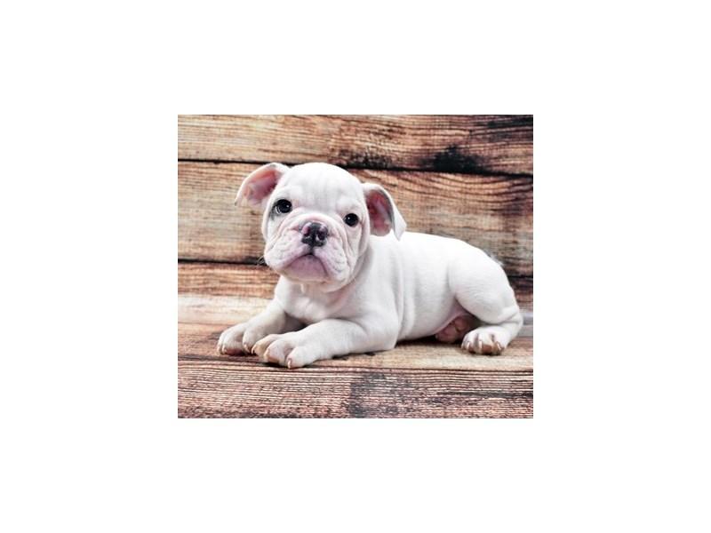 English Bulldog-Male-Blue and White-2781178-Petland Orlando South