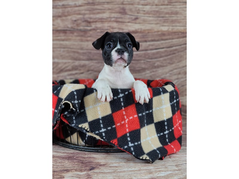 French Bulldog-Female-Black and White-2789492-Petland Orlando South