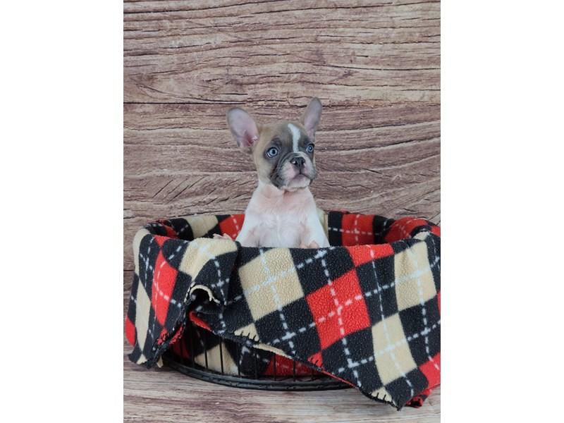 French Bulldog-Male-Blue Fawn-2788355-Petland Orlando South