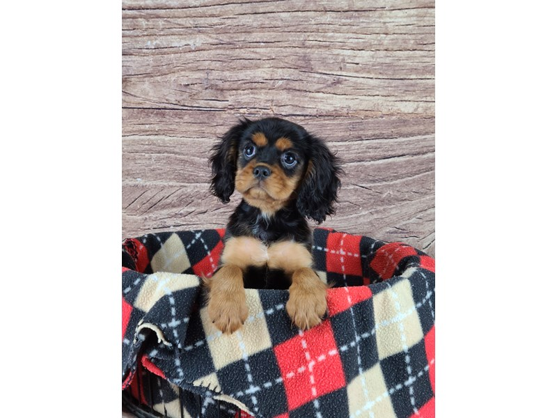 Cavalier King Charles Spaniel-Male-Black and Tan-2788465-Petland Orlando South