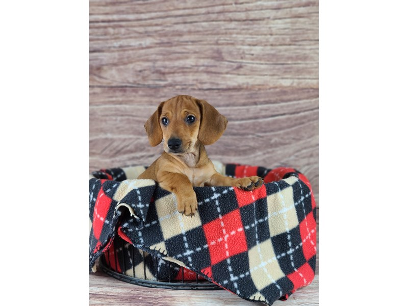 Dachshund-Male-Red-2788364-Petland Orlando South