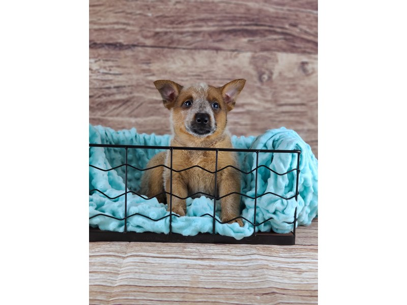 Australian Cattle Dog-Female-Red and Blue-2796585-Petland Orlando South