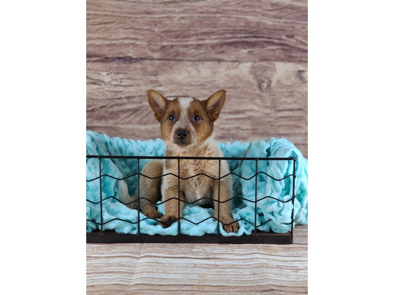 Australian Cattle Dog-Female-Red and Blue-2796587-Petland Orlando South