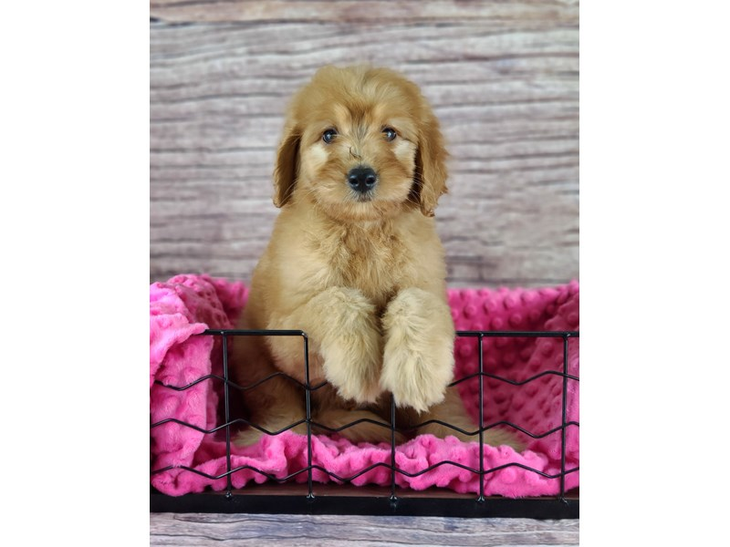 Goldendoodle-Male-Red-2803648-Petland Orlando South