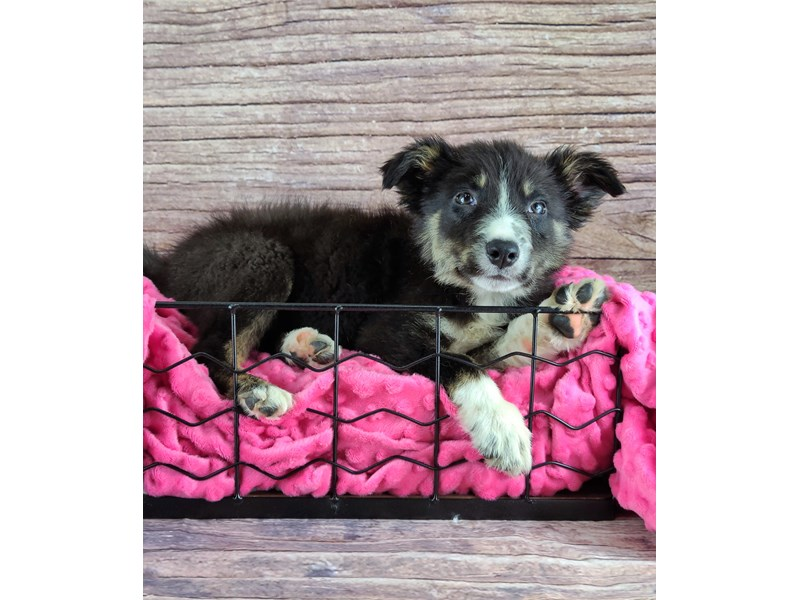 Border Collie-Male-Black Red and White-2802851-Petland Orlando South