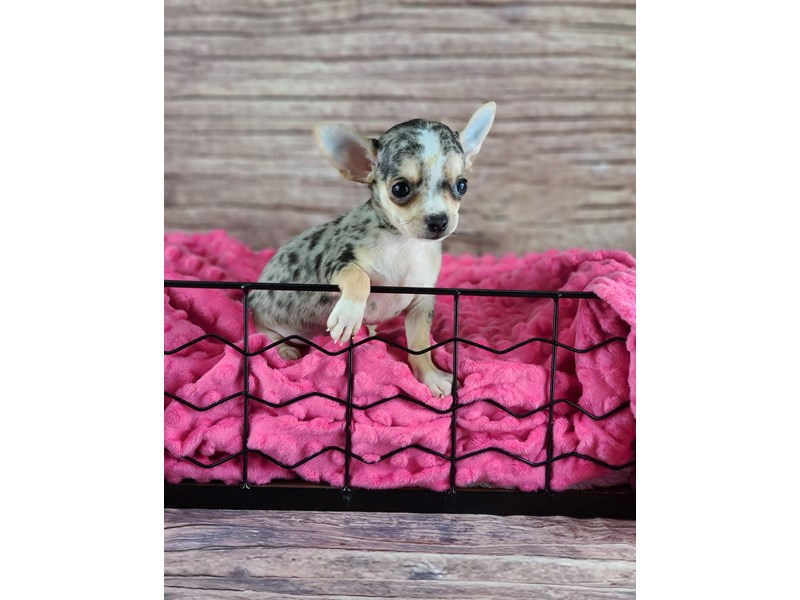Chihuahua-Male-Blue Merle and Tan with White Markings-2803246-Petland Orlando South