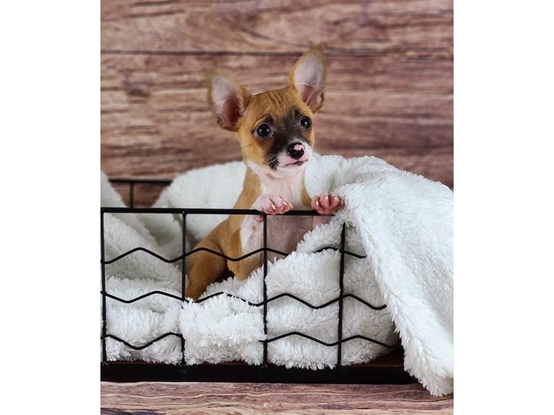 Chihuahua-Male-Fawn-2809870-Petland Orlando South