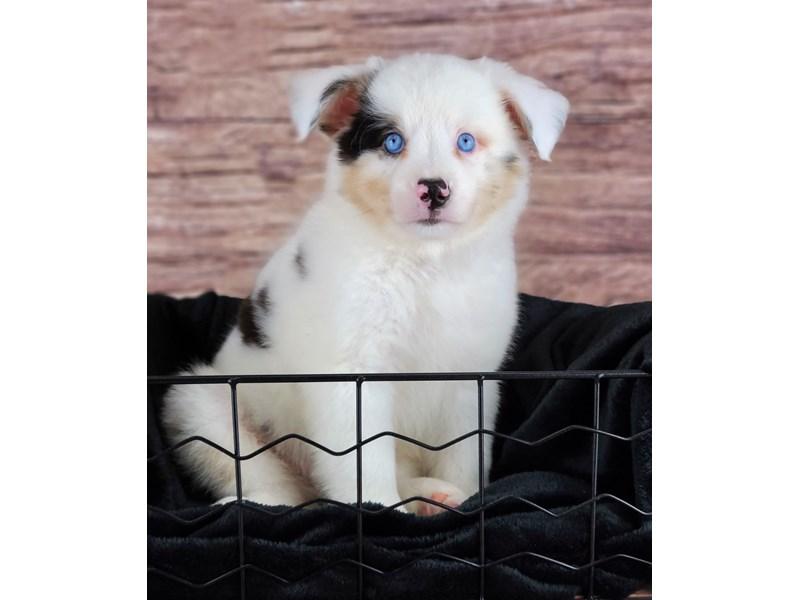 Australian Shepherd-Male-White and Blue Merle Tan Points-2810664-Petland Orlando South
