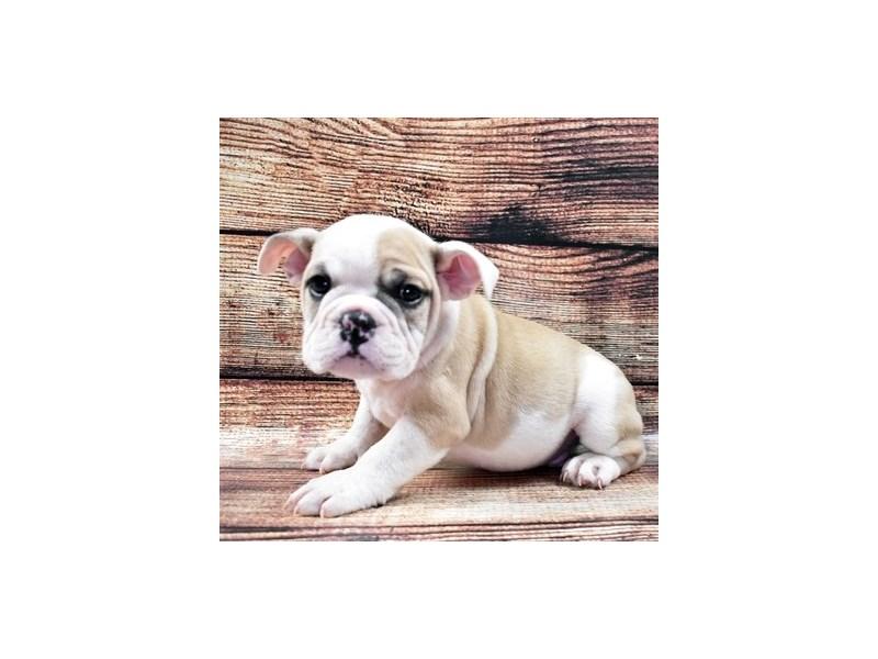 English Bulldog-Male-Fawn and White-2781181-Petland Orlando South