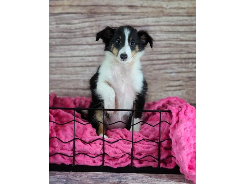 Shetland Sheepdog-Female-Black and Tan with White markings-2803270-Petland Orlando South