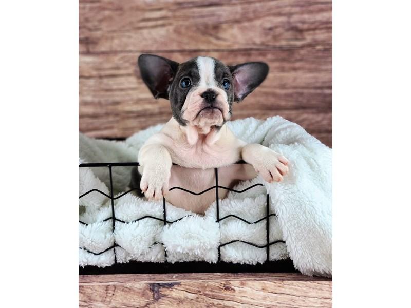 French Bulldog-Female-Blue and White-2810783-Petland Orlando South
