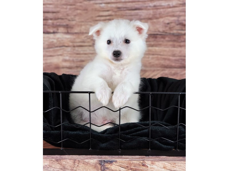 American Eskimo-Male-White-2810681-Petland Orlando South